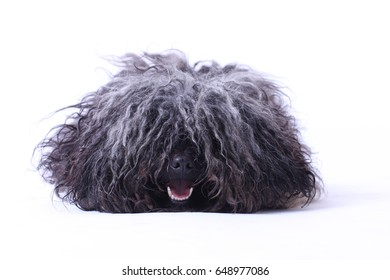 Hungarian puli dog