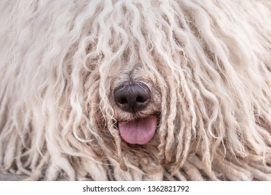 Hungarian puli dog with dreadlock closeup portrait