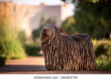 Hungarian puli dog with dreadlock outdoor in summer