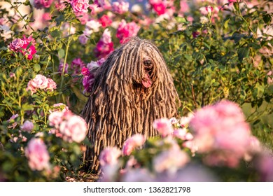 Hungarian puli dog with dreadlock outdoor in summer in roses