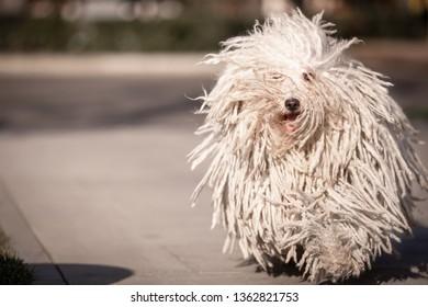 Hungarian puli dog with dreadlock running outdoor in summer