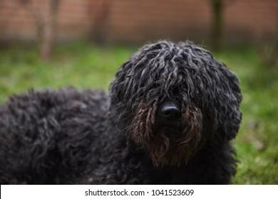 Hungarian shepperd dog Puli