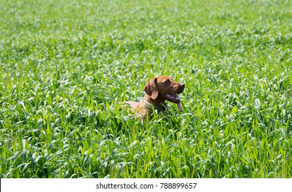 Hungarian Short-haired Pointing Dog in the field