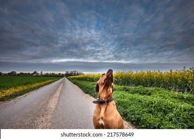A Hungarian Vizla dog flanked by fields of rapeseed looks up into a cloudy sky at first light.