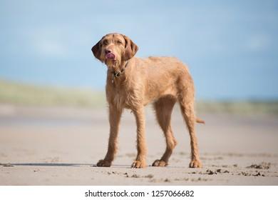 Hungarian Vizsla Dog