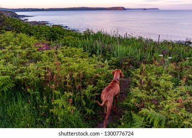 Hungarian Vizsla dog looks out over Roseland Peninsula at dusk, Cornwall, UK