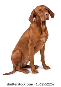 Hungarian Vizsla dog (magyar vizsla) isolated