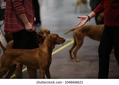 Hungarian vizsla dog on a dog show in american Orlando at florida being judged in the ring