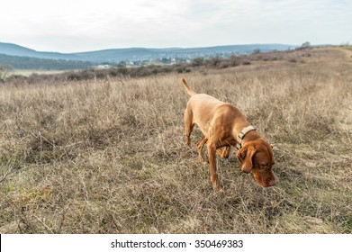 Hungarian vizsla dog sniffing the dry autumn grass on weedy meadow in the hills