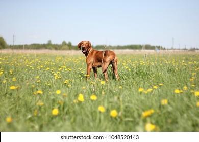 Hungarian vizsla dog for a walk