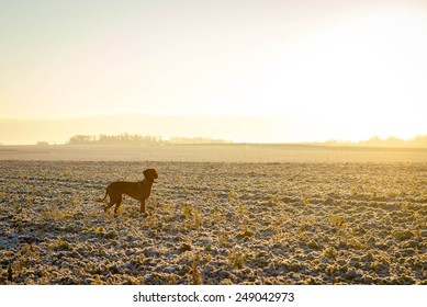 A Hungarian Vizsla looking for quarry over frosty fields shortly after first light