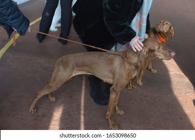Hungarian Vizsla, Magyar Vizsla on a leash at a dog show, in training classes. dog indoors, owner strokes it