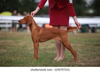 Hungarian vizsla puppy at dog show