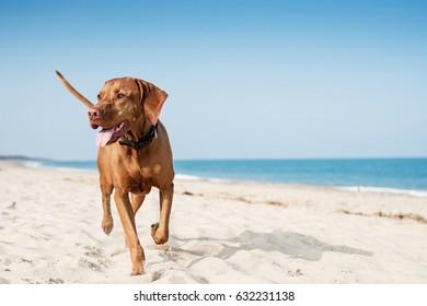 Hungarian Vizsla Running On The Beach in the UK