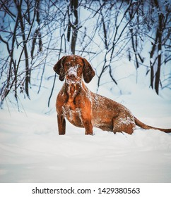 hungarian vizsla standing in deep snow
