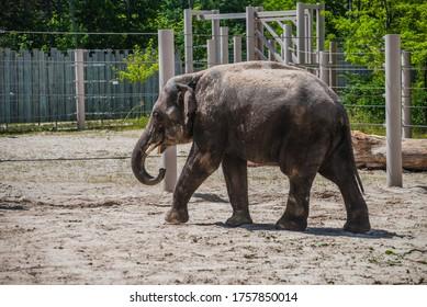 HUNGARY, VESZPREM, 11 06 2020: Asian elephant is walking in the