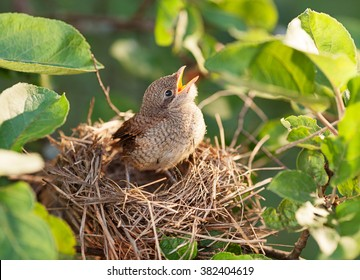 Hungry and abandoned baby bird waiting for its mother in the nest
