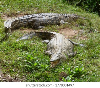 Hungry agressive crocodiles in a nature reserve in Madagascar. Two alligators waiting for dinner. The zoological and botanical park Croc Farm located near Antananarivo Ivato airport, Madagascar.