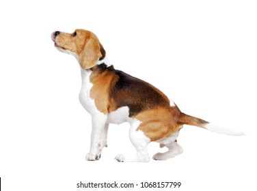 Hungry beagle licking his nose looking to the copy space area