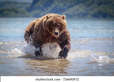 Hungry bear hunting and  chasing his salmon lunch in the cold water of a lake in Kamchatka