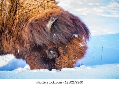 Hungry Bison digs deep in the snow for grass to eat