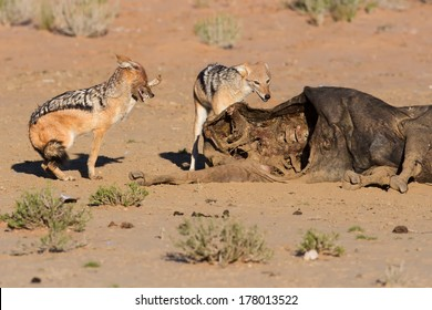 Hungry Black backed jackal eating on a hollow carcass in the dry desert fight with mate