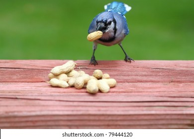 hungry blue  jay carrying a large peanut