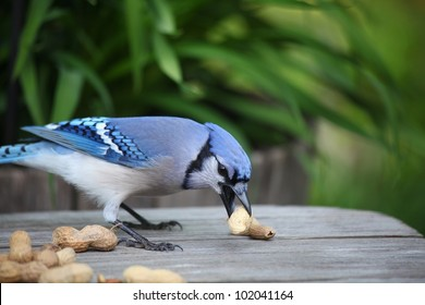 hungry blue jay eating a large peanut