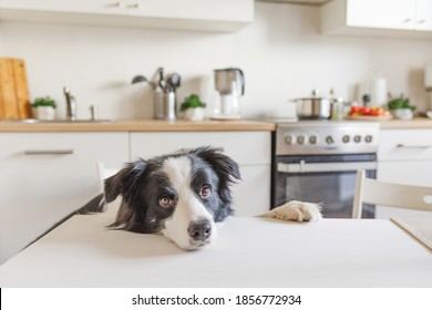 Hungry border collie dog sitting on table in modern kitchen looking with puppy eyes funny face waiting meal. Funny dog looking sad gazing and waiting breakfast at home indoors. Pet care animal life