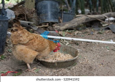 A hungry brown hen eating food mixed with porridge and chaff in Chinese countryside