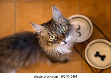 Hungry cat asking to eat. Cat with empty plates. Cat without food. Empty plates. Cats eyes.