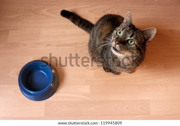 hungry cat sitting next to a food bowl, waiting to be fed