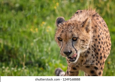 Hungry cheetah looking for spoil