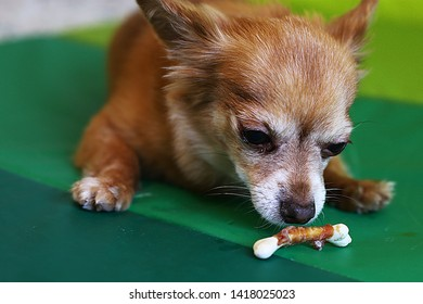 hungry chihuahua dog on a green carpet eating meat, an old red dog gnawing a bone, a smart dog looking at us