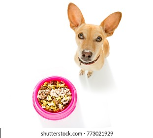 hungry  chihuahua podenco dog behind food bowl  isolated wood background at home and kitchen looking up  to owner and begging
