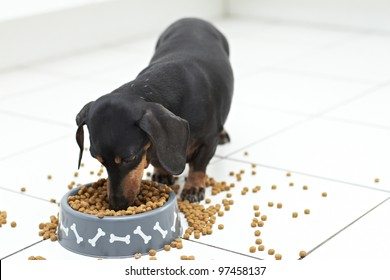 Hungry Dachshund dog breed digging into food