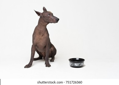 hungry Dog with a bowl.  xoloitzcuintli, Mexican Hairless Dog, waiting and looks up to have his bowl filled food on white background
