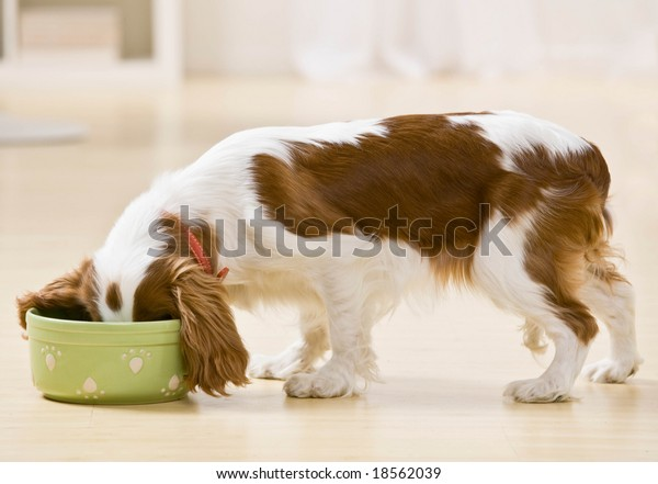 Hungry dog eating food from bowl