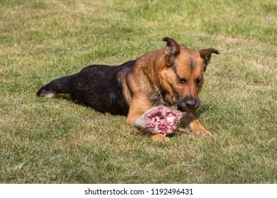 A hungry dog eats animal,A hungry dog eats a deer's head