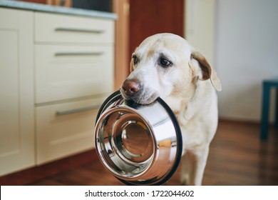Hungry dog with sad eyes is waiting for feeding in home kitchen. Cute labrador retriever is holding dog bowl in his mouth.