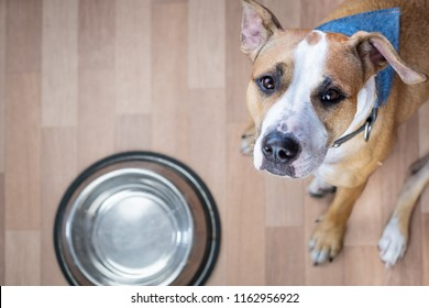 Hungry dog sits on the floor near food bowl and asks for food. Cute staffordshire terrier dog looking up and begging for treats