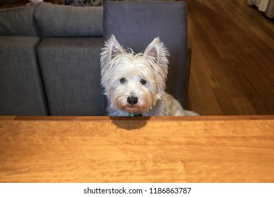Hungry dog sitting indoors at dining room table begging for food - with copy space