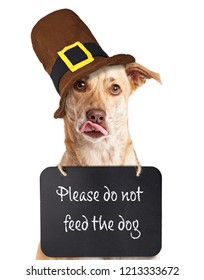 "Hungry dog wearing ""Please do not feed the dog"" sign around neck wearing Thanksgiving Pilgrim hat"
