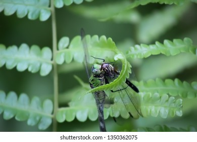 Hungry Dragonfly Cannibalism