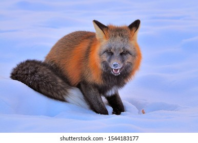 The Hungry Fox in the Yukon Winter