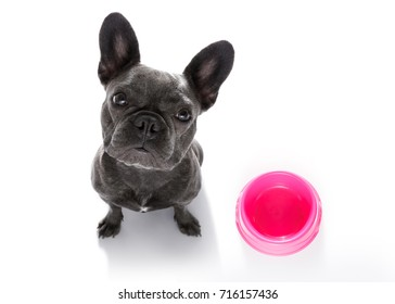 hungry  french bulldog dog  behind empty   bowl, isolated on white looking up  to owner and begging for food