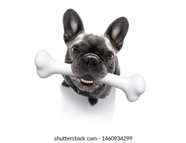 hungry french bulldog dog with a big white bone waiting for owner to go for a walk