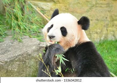 Hungry giant panda bear eating bamboo.