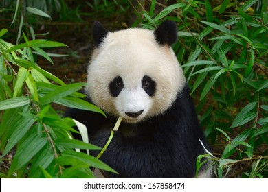Hungry giant panda bear eating bamboo at Chengdu, China