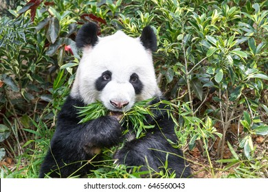 Hungry giant panda bear eating bamboo sprouts